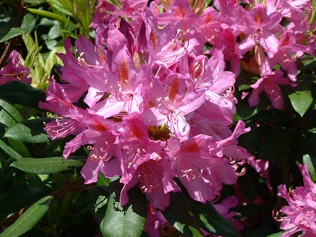 rhododendrons.jpg