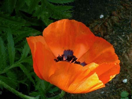 poppybloom.jpg