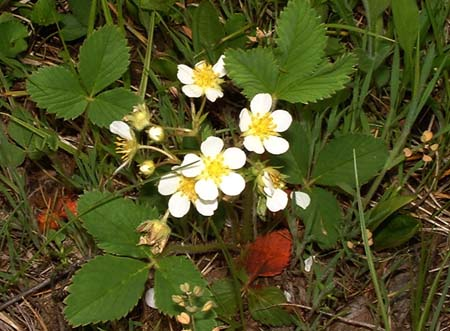 Wild Strawberry Blossoms