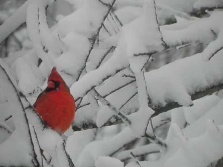 cardinalinsnow