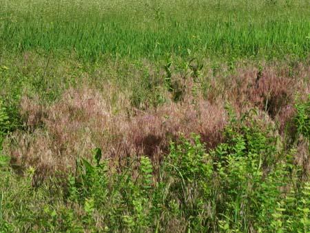 pinkgrass1