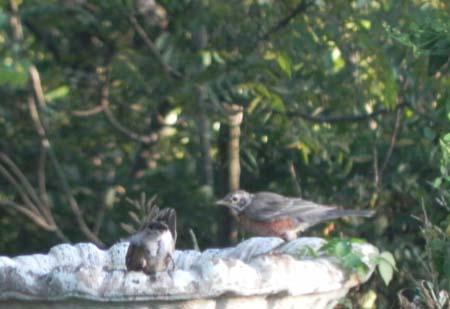BabyBluebirds